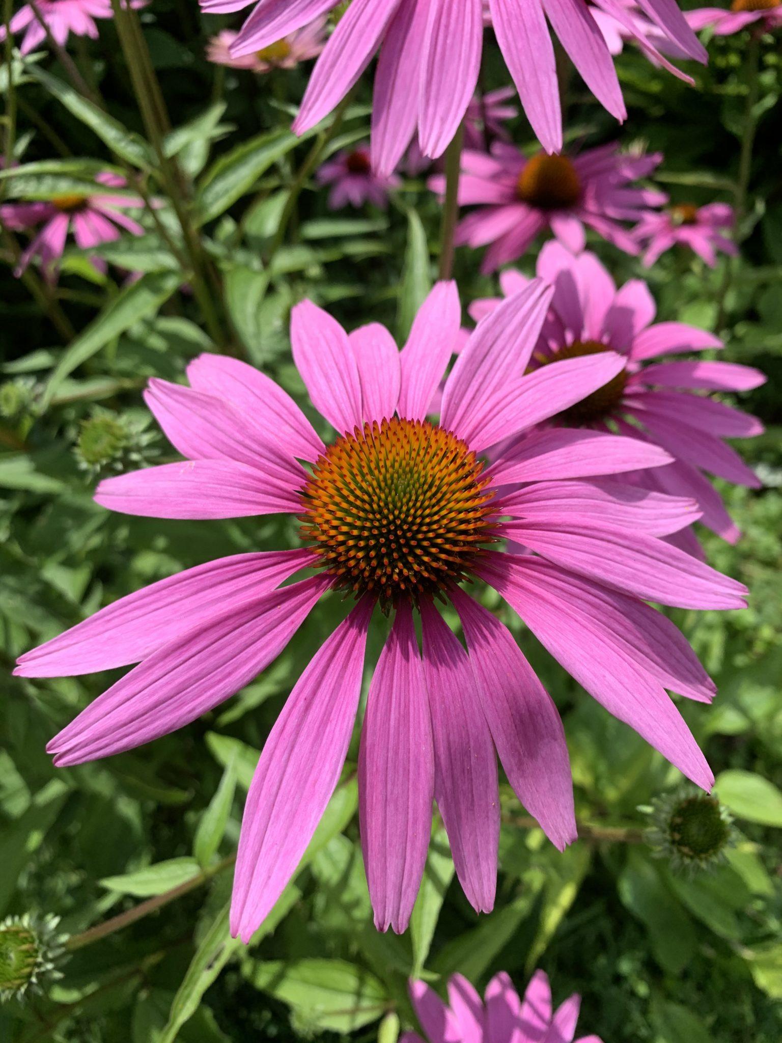 kukka: punahattu
